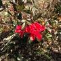 真冬にひっそり咲いて…