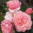バラの香りの歴史