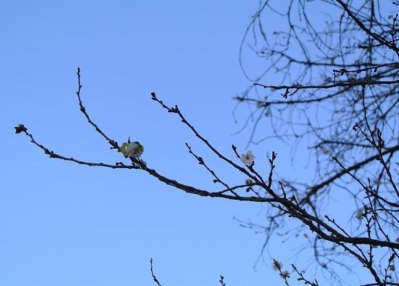 水海道GC No.14 二季桜