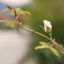 薔薇が咲く庭