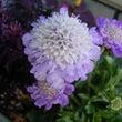 花のリレー スカビオ…