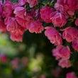 バラの香りの使い分け…