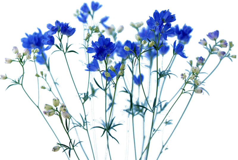 デルフィニウム(Delphinium elatum)の花言葉とちょっとしたお話 ...
