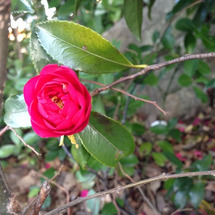 ☆赤い椿が咲いていま…