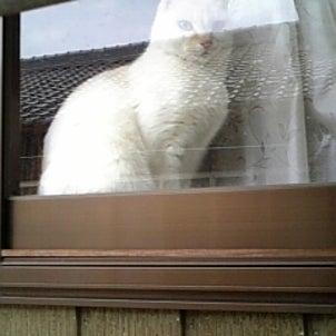 窓際の白ちゃんの画像