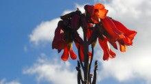 キンチョウの花
