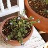 [雑草]オオイヌノフグリを鉢植えにして楽しむの画像