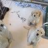 本日2月4日19時から志村動物園にゴールデンの子犬達が出ます。の画像