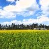 菜の花畑の画像