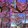 河津桜が綺麗でした♪の画像