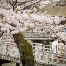 奈良の桜でロケーショ…