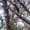 梅のつぼみの画像