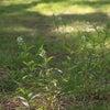 ペンペングサに似た雑草 マメグンバイナズナの画像