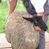 制作過程1:羊の毛刈りの画像