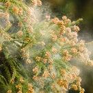 花粉症の記事より