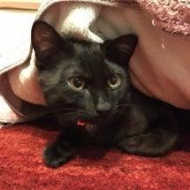 明日は手術の黒猫