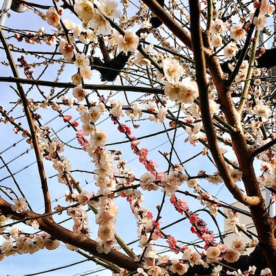 紅白で咲くことを「源平咲き」と呼ぶらしいの記事に添付されている画像