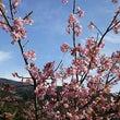 垂れ梅、河津桜、寒緋…