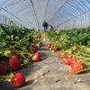 イチゴの収穫体験 夕方余裕あります!の画像