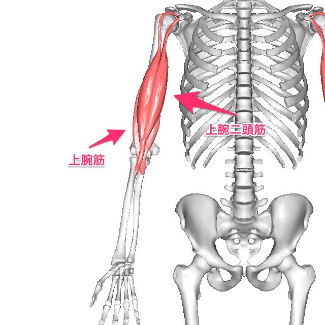 上腕筋のトレーニングについて |...
