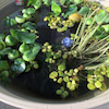 春なので・・・めだか鉢のメンテ♪の画像