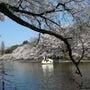井の頭公園de桜♪