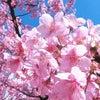 ■桜、さくら、サクラ咲く!2017|満開のさくら!三代目の備忘録。の画像