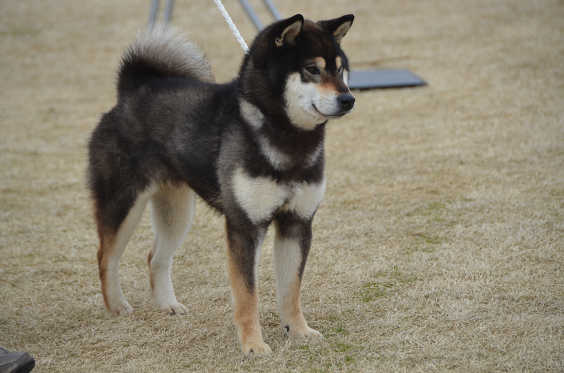柴犬専門犬舎 釈迦堂平成29年度春季福島支部展の写真です。
