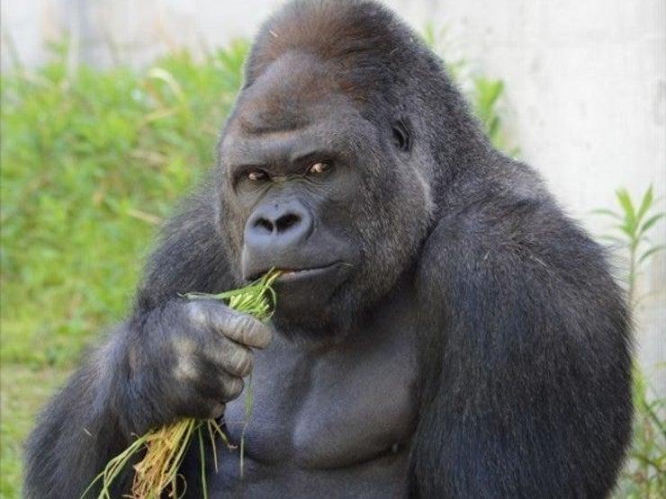 ローフードはゴリラの食事? | ロー&リビングフードでココロとカラダ ...