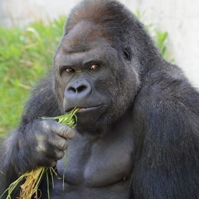 ローフードはゴリラの食事?   の記事に添付されている画像