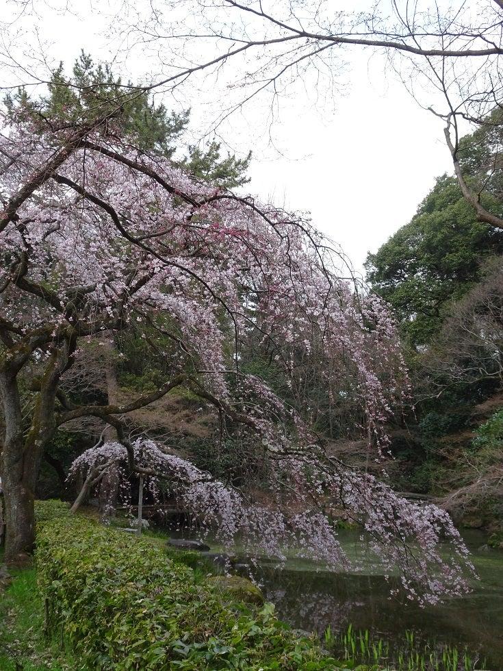 近衛家跡の糸桜、ほんまに上品ど...