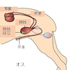 犬の尿石症(膀胱結石 尿道結石)の画像