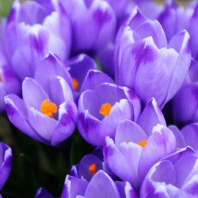 今日の誕生花 ☆クロッカス☆の記事に添付されている画像