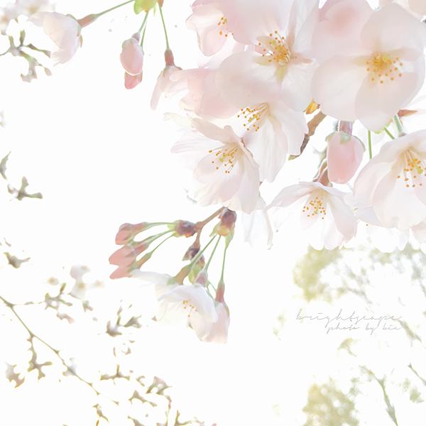 iPhone写真桜