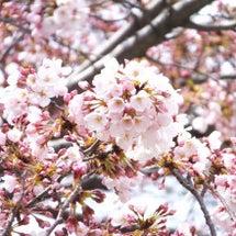 地元の桜まつりは大賑…