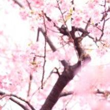 新潟市の桜は・・・