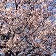 桜と猫と、、