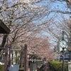 やっぱり桜が好き❀の画像