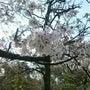 八戸ノ里公園の桜