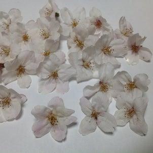 桜の花びらは何枚?の画像