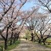 """2017""""丸墓山古墳の桜の画像"""
