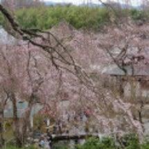 京都天龍寺の桜を見て…