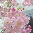 桜の花満開