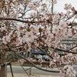西宮クラスも桜が満開…