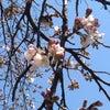 今年初めての桜にの画像