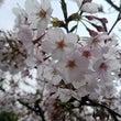 桜がきれいな季節です…