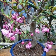 花カイドウと長寿梅
