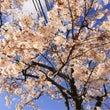 桜満開!!!!
