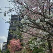 ご近所の桜  画像で…
