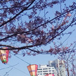横浜ならではのお花見…